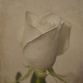Dorothy Pinder - White Rose