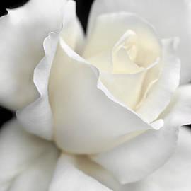 Jennie Marie Schell - White Rose Flower Splendor