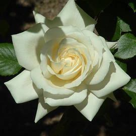 Lorna Hooper - White Rose