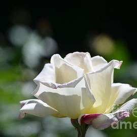 DejaVu Designs - White Roses