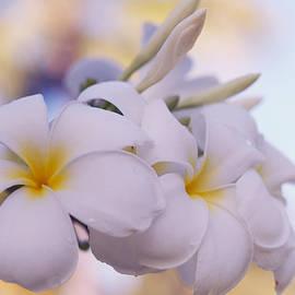 Jenny Rainbow - White Snow Frangipani Flowers