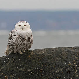 Juergen Roth - White Snowy Owl