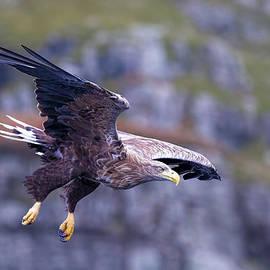 Mr Bennett Kent - White tailed eagle on Mull Scotland