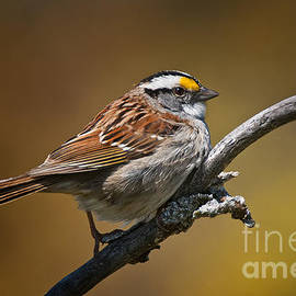 World Wildlife Photography - White-throated Sparrow Pictures 131