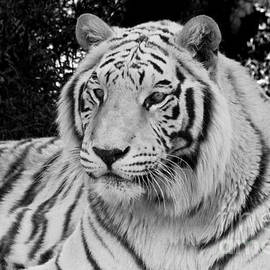 Janice Rae Pariza - White Tiger in Black and White