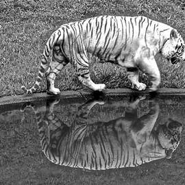 Venetia Featherstone-Witty - White Tiger Reflections