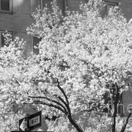 Miriam Danar - White Tree - Springtime in New York