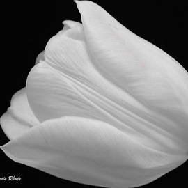 Jeannie Rhode Photography - White Tulip