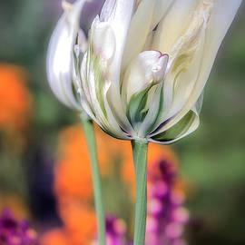 Julie Palencia - White Tulip Splash of Color
