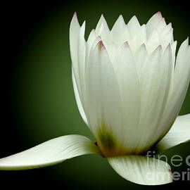 Carol F Austin - White Water Lily Enlightenment