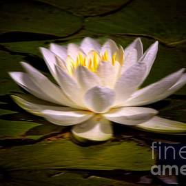 Vickie Emms - White Water Lily Painting Effect