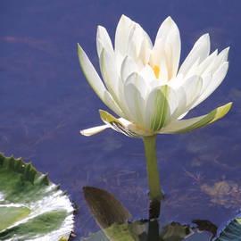 Rosalie Scanlon - White Water Lily