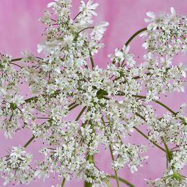 Sandra Foster - White Wild Cow Parsnip Flower