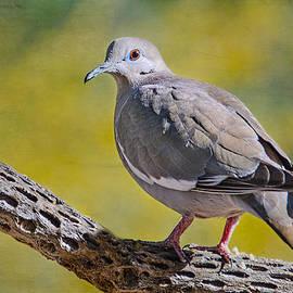 Barbara Manis - White- Winged Dove