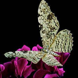 Leslie Crotty - White Witch Moth resting at Midnight