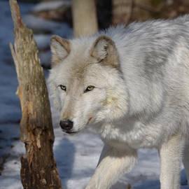 Patsy Zedar - White Wolf 1