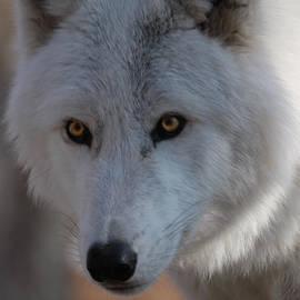 Patsy Zedar - White Wolf 10