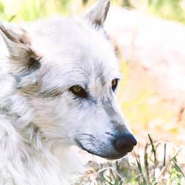 Athena Mckinzie - White Wolf In Springtime