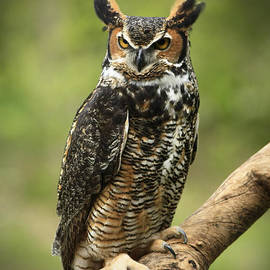 Inspired Nature Photography By Shelley Myke - Whoos Watching Me Great Horned Owl in the Forest
