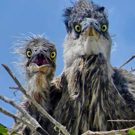 Jennie Breeze - Wide Eyed Baby Herons