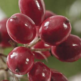 Sandra Foster - Wild Berry Cluster Macro