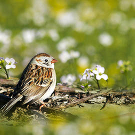 Christina Rollo - Wild Birds - Field Sparrow