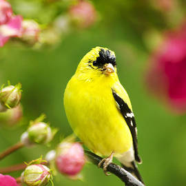 Christina Rollo - Wild Birds - Garden Goldfinch