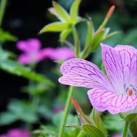 Clare Bevan - Wild Geranium Flowers