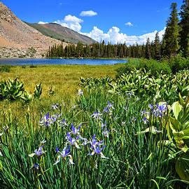 Lynn Bauer - Wild Iris at Trumbull Lake