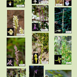 Betty Depee - Wild Orchids of Del Norte County