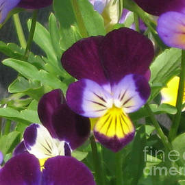 Conni Schaftenaar Elderberry Blossom Art - Wild Pansies or Johnny Jump-ups 1