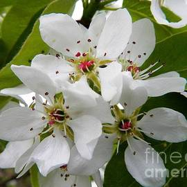 Loreta Mickiene - Wild Pears Blossoms