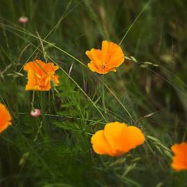 Belinda Greb - Wild Poppies