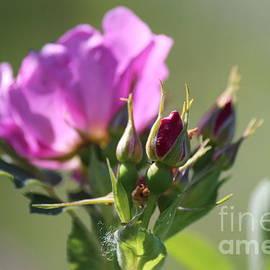 Ann E  Robson - Wild Rose