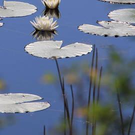 Rosalie Scanlon - Wild White Water Lilies