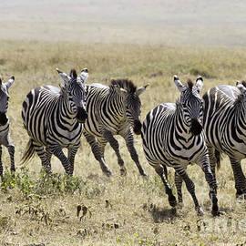 Chris Scroggins - Wild Zebras Running