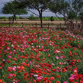 Priscilla Burgers - Wildseed Farms Poppies