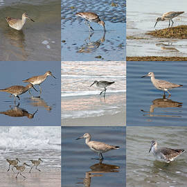 Dawn Currie - Willets Along the Shore