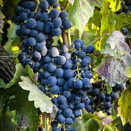 Tetyana Kokhanets - Wine Grapes