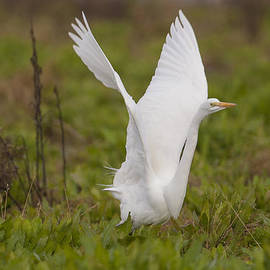 Ruth Jolly - Wings up Egret