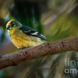 Robert Bales - Winter American Goldfinch