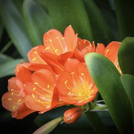 Julie Palencia - Winter Bloom Clivia