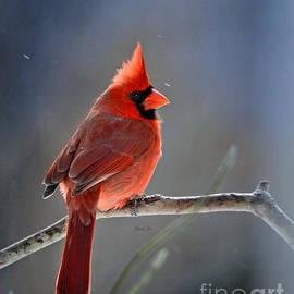 Nava  Thompson - Winter Morning Cardinal