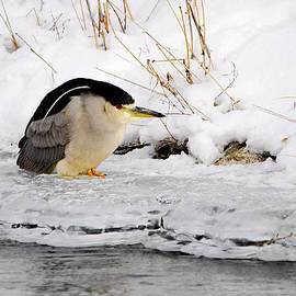 Marty Fancy - Winter Night Heron