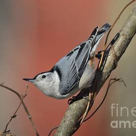 Charles Trinkle - Winter Nuthatch