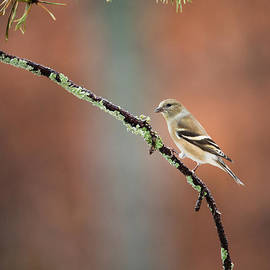 Christy Cox - Winter Plumage - Female American Goldfinch