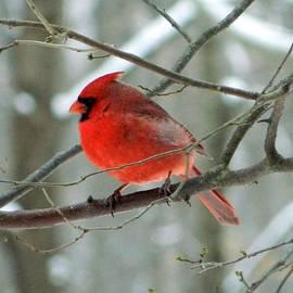 Nancy Spirakus - Winter Red Cardinal