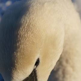 Mickeys Photography - Winter Swan