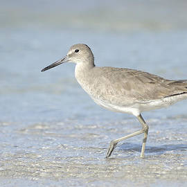 Heather Pickard - Winter Willet in Florida