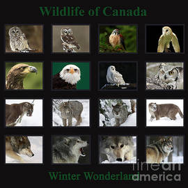 Inspired Nature Photography By Shelley Myke - Winter Wonderland Wildlife of Canada